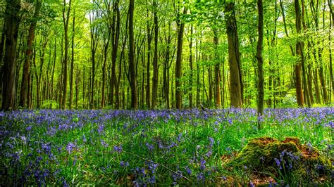 wallpaper abyss forest bluebells in forest full hd wallpaper and background