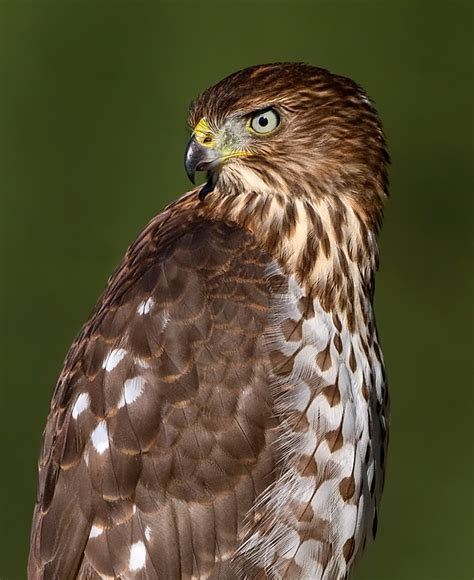 sizing up birds of prey birdnote