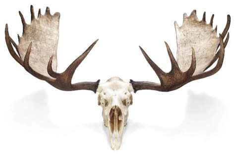 Moose Shed Antlers For Sale by Pin Moose Antler Shed On