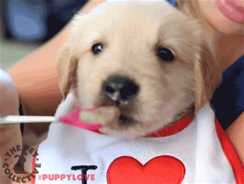 golden retriever puppies nebraska animal gif find on giphy