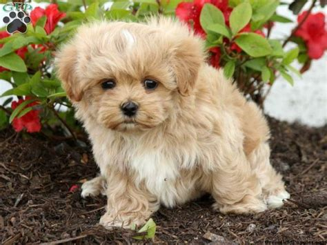 maltipoo puppies for sale in ohio 17 best ideas about maltipoo puppies for sale on maltipoo for sale