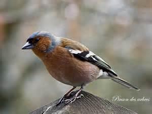 oiseaux des jardins en hiver wehomez