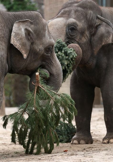 images of christmas elephants elephants munch on christmas trees at berlin zoo