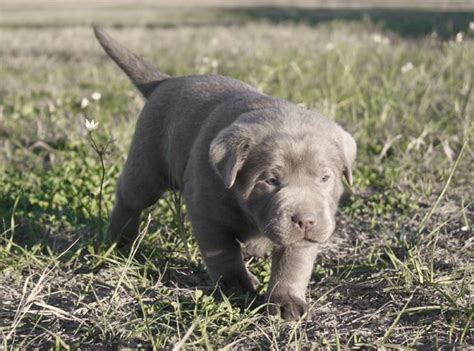 silver lab puppies for sale in nj silver labrador retriever for sale dogs in our photo