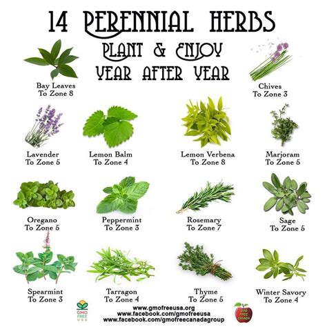 Herb Garden Plants | 14 perineal herbs to plant every year gardening canning
