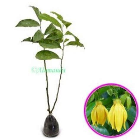 Pupuk Untuk Bunga Kenanga jual tanaman kenanga cina hp 085608566034