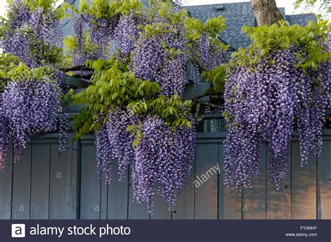copy right free pictures of purple wisteria purple wisteria floribunda flowers overhanging a wooden fence in stock photo royalty free image