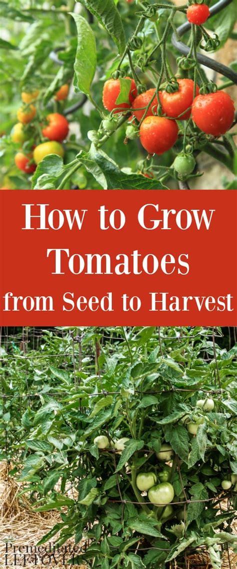 grow tomatoes   garden  seed  harvest