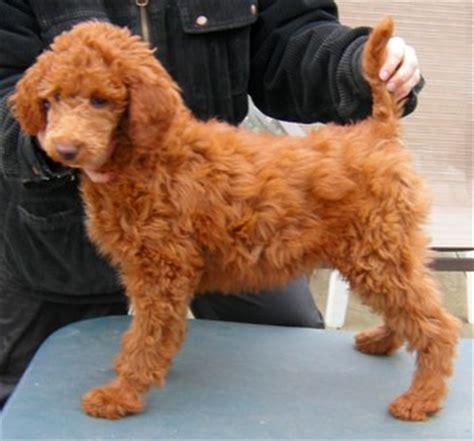average standard poodle lifespan 10 week standard poodle weight photo