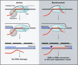 dna replication microbiology gt gt 15 great explain how dna