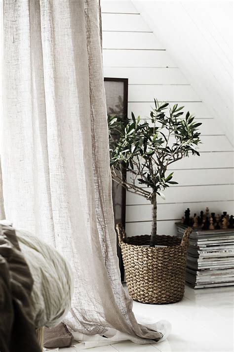 guide  growing olive trees indoors homesthetics