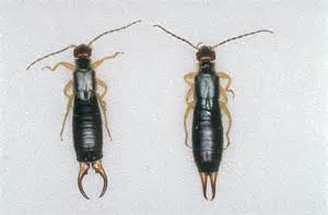 Management of European earwig | Department of Agriculture ...