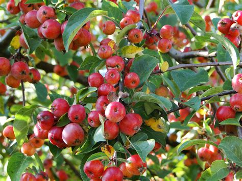 crab apple tree wellywoman