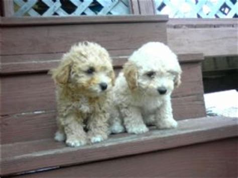 puppies for sale in harlingen tx miniature poodle puppies for sale
