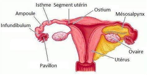 pavillon uterus d 233 finition trompes de fallope trompes ut 233 rines