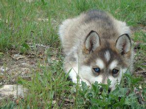 horgi puppies corgi husky mix