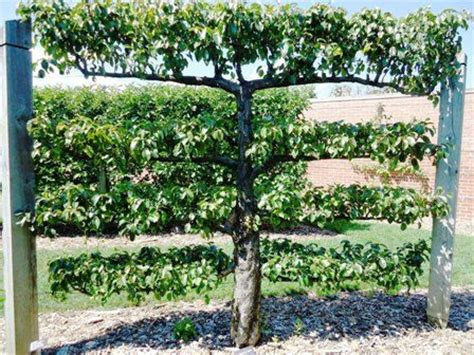 vertical fruit trees go vertical espaliered fruit tree fabulous focal