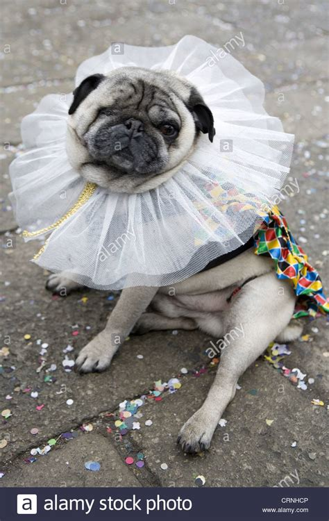 fancy dress pugs pugs in fancy dress www imgkid the image kid has it