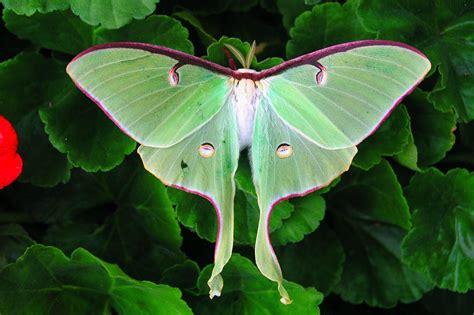 identify  beautiful endangered luna moth