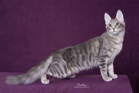 Turkish Angora Cat Tabby Uuuewc   ANIMAL ONLINE