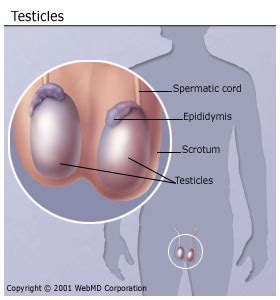 how can a live with cancer testicular self examination and preventing testicular cancer
