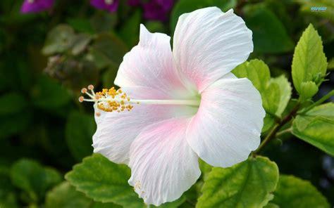characteristics of hibiscus flower typesofflower com typesofflower com