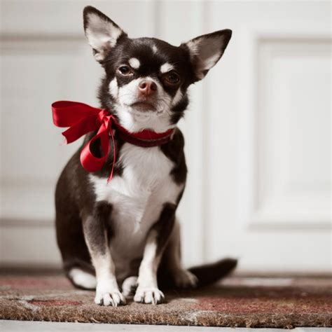 how to take care of a chihuahua puppy here s how to take care of chihuahua puppies and them well
