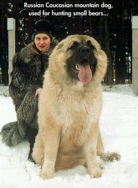 russian dogs russian mountain size myideasbedroom