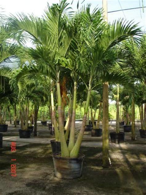 adonidia palms adonidia palm triple palm trees garden