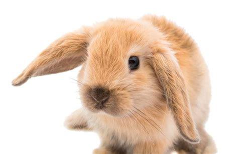 coniglio alimentazione cosa mangia il coniglio nano ariete cura e alimentazione