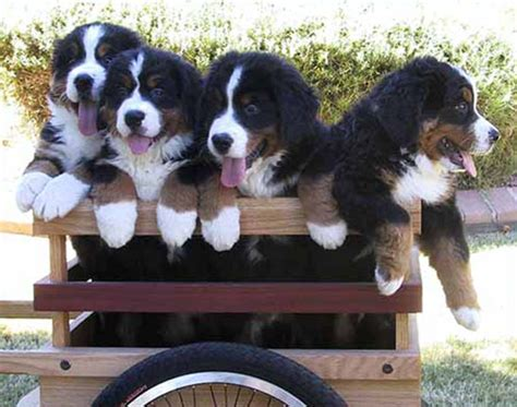 how much are bernese mountain puppies sapphires bernese mountain dogs an arizona breeder of chion bernese mountain dogs