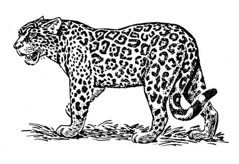 realistic jaguar coloring pages big cat line drawings