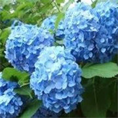 significato fiore ortensia significato dei fiori