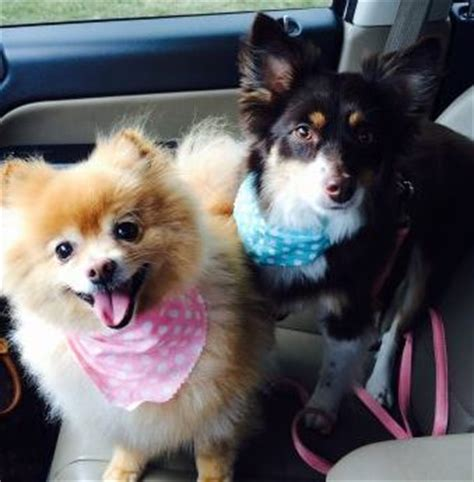 pomeranian mini australian shepherd rehomed darla and bonded pomeranian and mini australian shepherd mix found