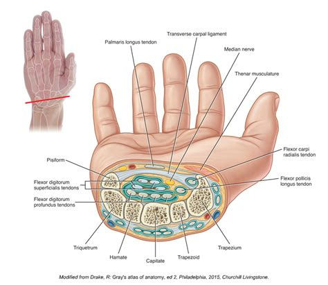 Cross Section Of Wrist by The Suspects Flexor Pollicis Longus Of