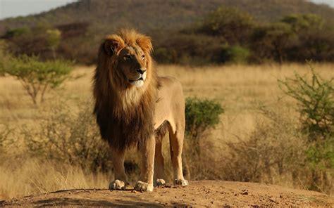 photot   lion   field wallpaper hd animals