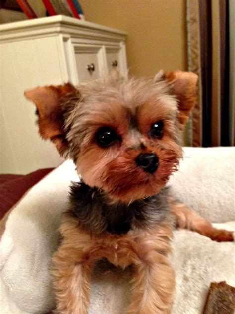 yorkie rescue adoption adoptions puppies need new home breeds picture
