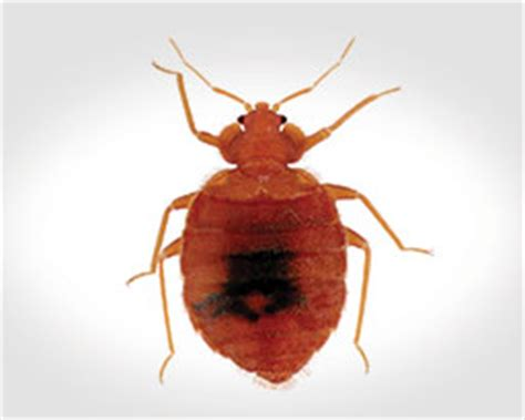 do bed bugs feed every night bed bug facts treatment control hughes exterminators