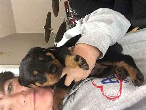 caring for rottweilers how to care for a rottweiler puppy 14 steps with pictures