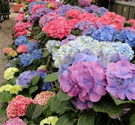 hardest flower to grow hydrangeas one of my favorite flowers they are hard to