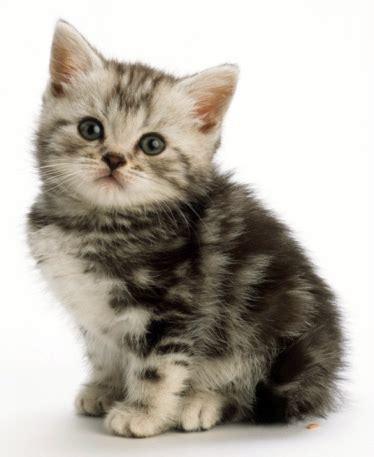 Cinta Untuk Anak Kucing jenis kucing adearisandi s
