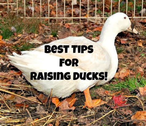 raising backyard ducks best tips for raising ducks timber creek farm