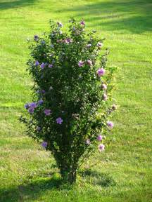 Miniature Shrubs That Flower - best 25 rose of sharon ideas on pinterest hummingbird cafe hummingbird garden and attracting