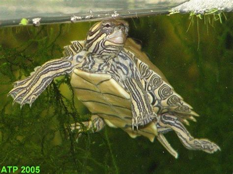 Northern Black Knobbed Map Turtle by Photo Gallery