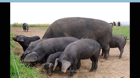 large black large black pig learning wizscience