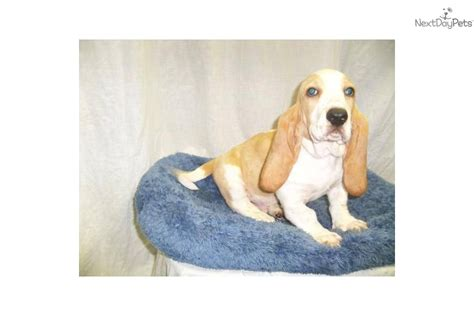 basset hound puppies for sale in ny meet lucky a basset hound puppy for sale for 419 basset hound nj ny ct md