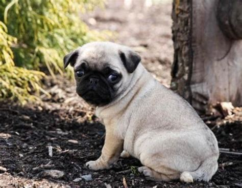 pugs for sale in tucson american bulldog puppies for sale breeds picture