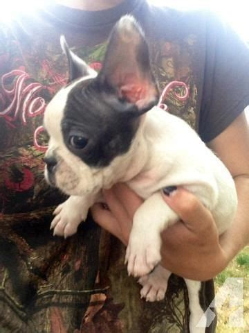 frenchton puppies for sale oregon adorable outgoing f1 frenchton frenchbo puppies 8 wks for sale in tenmile oregon