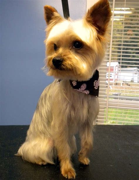 yorkie puppy with thin hair search results for yorkie puppy with thin hair black