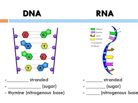color dna dna the helix coloring worksheet answers